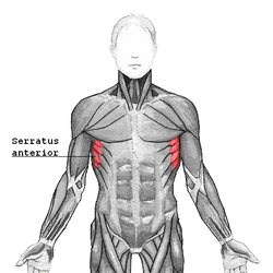 serratus anterior, shoulder rehab langley,